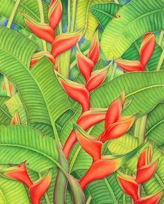 Heliconia Painting - Orange Heliconia by Joel Carlson Framed Wall Art, Wall Art Prints, Garden Illustration, Buy Prints, Tropical Leaves, Pattern Wallpaper, Vintage Postcards, Life Is Beautiful, Art Decor