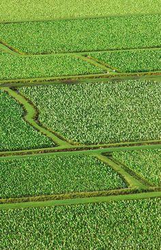 Taro fields in Hanalei Valley, Island of Kauai.