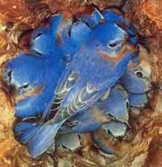 Western Blue Birds huddled together, arranged so they don't smother.