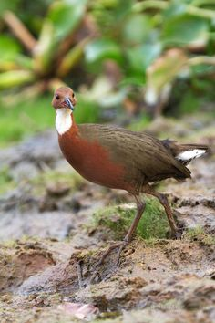 The White-throated Rail (Dryolimnas cuvieri) or Cuvier's Rail is a species of bird in the Rallidae family. It is found in Comoros, Madagascar, Mayotte, and Seychelles.