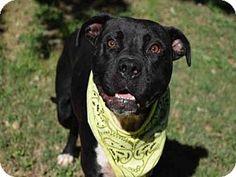 09/27/16 SL~~~Pit Bull Terrier Dog for adoption in Atlanta, Georgia - BIG BLACK