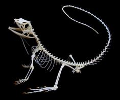 bearded dragon anatomy and physiology - Google Search