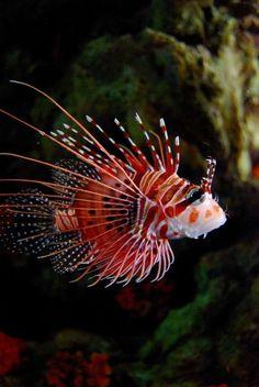 Tiger Fish   | under the sea |   | oceanlife | | amazing nature |  #oceanlife #amazingnature  https://biopop.com/