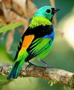 There are about 1000 species of birds in the Atlantic Rainforest.   Saíra de sete cores_tangara seledon Brazilian Birds