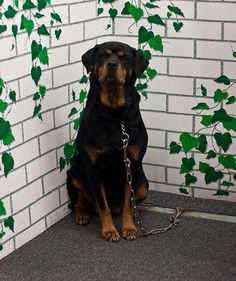 Rottweiler, or Rottweil Metzgerhund, is a large dog breed originating in Germany as a war and herding dog. It is a hardy and very intelligent breed.