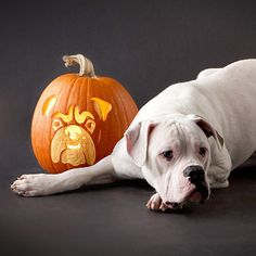 The dog days of summer may be gone, but you can still celebrate your pups this fall season by creating a dog breed inspired pumpkin carving! Thanks to these awesome stencils, it's easy to create an impressive pumpkin carving that looks just like your favorite kind of dog. From bulldogs to border collies, create amazing pumpkin carvings designed just for dog lovers!