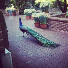 """Our own Germonique is on the road today at @filolicenter, one of our historic sites - where she was greeted by Percy the Peacock!"" #preservation #savingplaces"