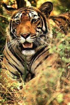 tigre laranja - MySearch