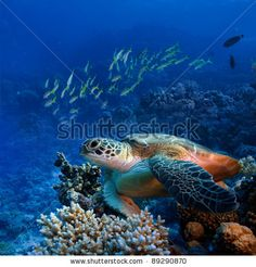 Red Sea Diving Big Sea Turtle Sitting On Colorful Coral Reef Stock Photo 89290870 : Shutterstock