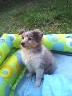 Cute blue Merle puppy