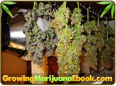 Learn how drying time can be lengthened by accident and know how to avoid this to get the potent pot that you have been waiting to smoke in days, rather than weeks http://growingmarijuanaebook.com/drying-pot.php #dryingyourpot #growingmarijuana #marijuana #cannabis