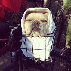 French bulldog as E.T. @nikiblasina's photo: E.T. phone home. #frenchie #halloween