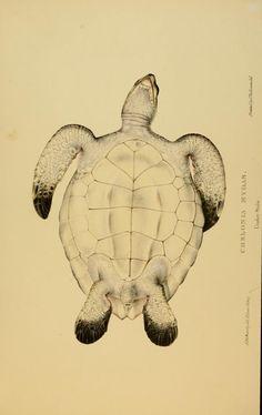 Tortoises, terrapins, and turtles : - Biodiversity Heritage Library
