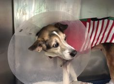 12 YEARS OLD!! **NEEDS FOLLOW UP VET CARE**CONTACT A NEW HOPE RESCUE TO FOSTER/ADOPT** SUPER URGENT Brooklyn Center JANET – SPAYED FEMALE, BLACK / BROWN, AMER FOXHOUND MIX, 12 yrs STRAY – STRAY WAIT, NO HOLD Reason STRAY Intake condition GERIATRIC Intake Date 12/11/2016, From NY 11435, DueOut Date 12/14/2016,