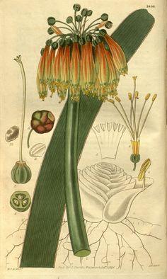 Imatophyllum Aitoni. v.55 [new ser.:v.2] (1828) - Curtis's botanical magazine. - Biodiversity Heritage Library