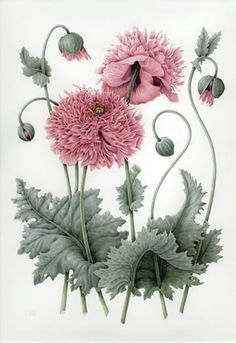 Lovely botanical : illustration by Christine Stephenson Shaggy Pink Poppies Illustration Inspiration, Vintage Illustration, Plant Illustration, Vintage Botanical Prints, Botanical Drawings, Vintage Prints, Vintage Art, Vintage Paintings, Botanical Flowers