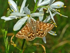https://flic.kr/p/dDDyfn   Noctuidae - Euclidia mi   Noctuidae - Euclidia mi