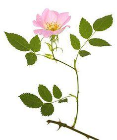 wild-rose-fiori-di-bach