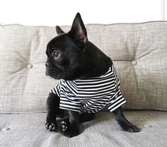 Boba in #pipolli striped tee, French Bulldog Puppy