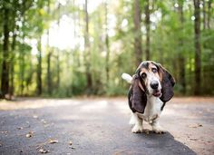 Bassett hound <3