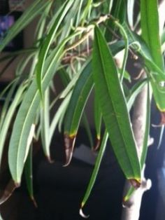 Symptoms of Over Watering, Leaf Tips Brown & Crunchy
