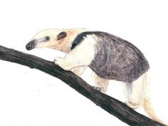 Anteater Art Print Safari Art Decor. Ideal by LydiasWildlifeArt