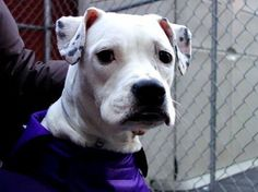 TO BE DESTROYED 1/14/14 Manhattan Center BRIE - A0988818 *** SAFER: AVERAGE HOME *** FEMALE, WHITE / BLACK, PIT BULL MIX, 2 yrs STRAY - STRAY WAIT, NO HOLD Reason OWN EVICT  Intake condition NONE Intake Date 01/04/2014, From NY 10001, DueOut Date 01/07/2014 https://www.facebook.com/photo.php?fbid=740764032603145&set=a.617938651552351.1073741868.152876678058553&type=3&theater