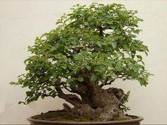 bonsai_image4large.jpg (600×451)