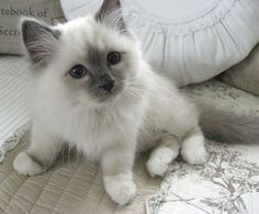 All I want for life is a Siamese doll / pointe & a husky.
