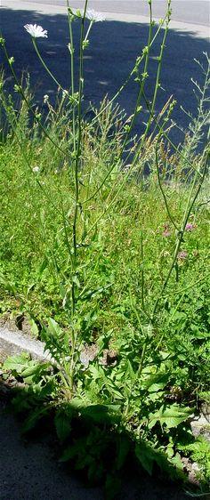 Chickory plant - Cichorium intybus - white