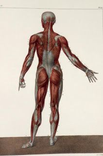 Muscle Anatomy: Muscles of body from Behind Anatomy Back, Muscle Anatomy, Anatomy Study, Body Anatomy, Anatomy Drawing, Human Anatomy, Anatomy Models, Anatomy For Artists, Body Reference