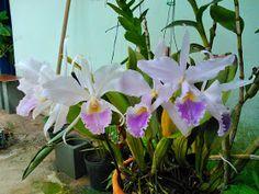 cultivando Orquídeas e idéias: SOBRE AS RAIZES DAS ORQUIDEAS- O SEGREDO DA SAUDE DAS PLANTAS! Indoor Plants, Bonsai, Orchids, Floral, How To Replant Orchids, Orchids Garden, About Plants, Flower Arrangements, Floral Arrangements