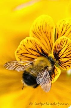 As you can tell, the bee isn't in the center of the image, its on the lower right side. This is a pefect example of The Rule of Thirds Josue Fernandez Period 6 Wallpaper Tumblrs, Especie Animal, Tier Fotos, Save The Bees, Bees Knees, Mellow Yellow, Color Yellow, Yellow Black, Yellow Theme