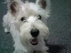 Chester is a very handsome 8 year old Westie..... from a FB account