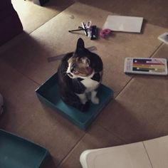 お道具箱に入る猫🐈#三毛猫#雌猫#愛猫#お道具箱#新学年の準備