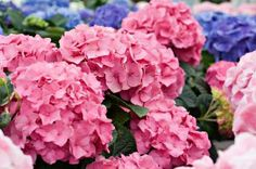 Hydrangea -    alkaline soil turns the flowers pink - add a little lime into the soil. .  Acidic soil turns the flowers shades of blue  - add used coffee grounds  into the soil.