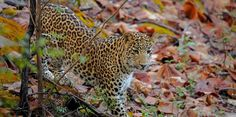 Are you a nature and wildlife lover? It's your time to experience the enthralling adventure of wildlife. Read to find out top ten places in India for ultimate wild safari adventure.. #travel #wildlifesafari #nationalparks
