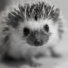 BABY HEDGEHOG!!! again. cute picture, adorable animal!!!