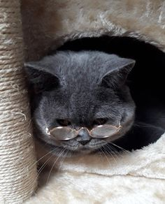 Time for bedtimestories🐾 #catwithglasses #funnycat #britishblue #britishshorthair my cat Yuri
