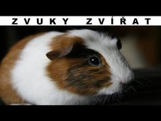 "Guinea Pig Classification and EvolutionThe Guinea Pig (also known as a Cavy) is a small species of rodent that is found inhabiting the Central Andes Mountains in South America. Named after Guyana where they are found in the wild and ""pig"" resembling. Pigs Eating, Guinea Pig Bedding, Cats And Cucumbers, Cat Drinking, Animal Facts, Animal Testing, Guinea Pigs, Your Pet, Dog Cat"