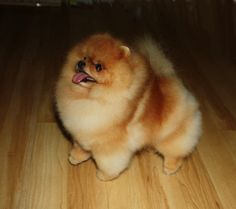 Pomeranians Puppies are so cute but taking care of the hair (mucho money) Cute Puppies, Cute Dogs, Dogs And Puppies, Doggies, Chihuahua Dogs, Cute Baby Animals, Animals And Pets, Cute Pomeranian, Dog Photos