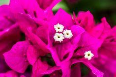 Bougainvillea 101 | Bougainvillea Plant Care & Fertilizer