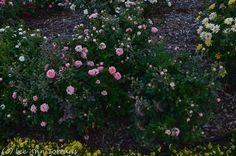 Cupcake Mini rose