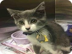 Maryland Heights, MO - Domestic Mediumhair. Meet PRINCESS, a kitten for adoption. http://www.adoptapet.com/pet/17479067-maryland-heights-missouri-kitten