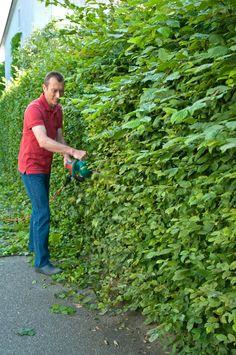 Seit dem Frühjahr sind die Hecken kräftig gewachsen – Ende Juni steht deshalb der Schnitt an. Bis dahin haben die Pflanzen den ersten von zwei Wachstumsschüben abgeschlossen.