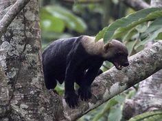 Los Tarrales, Guatemala, Tayra at Los Tarrales Reserve
