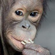 Borneo orangutan Photo by wiwik astutik — National Geographic Your Shot
