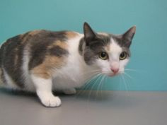 *Rayne came in with her daughter Ginger (171051) and would love to go home with her!* Meet the beautiful Rayne! This lovely lady is looking for a forever home that can provide her with all the love and attention that she deserves! Rayne is a very affectionate kitty who is a little nervous after all the changes that have been going on recently, but with a little time and TLC she will show you how amazing she is! Rayne would thrive in a quiet home where she can spend her days taking long cat…