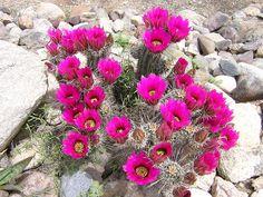 Blooming cactus
