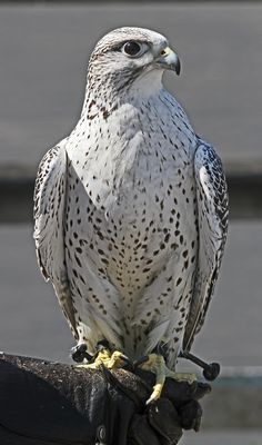 "Gyrfalcon  a.k.a. Gerfalcon  -    Arctic-bred ,  Official Bird of Canada's Northwest Territories, is the largest of all Falcons, and is considered by many to be the most majestic species of bird in the world. For centuries, the Gyrfalcon has been sought by both nobility and falconers alike, for its power, beauty, and gentle nature with humans.   Unlike the Peregrine Falcon, who always attack their prey in flight, the Gyrfalcon uses its blinding speed to pursue prey in a ""tail chase"" and he…"